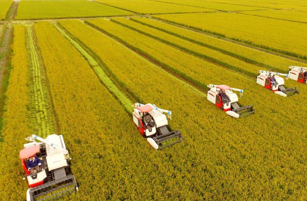 Hiinlased aretasid riisi, mis kasvab edukalt ka soolases vees
