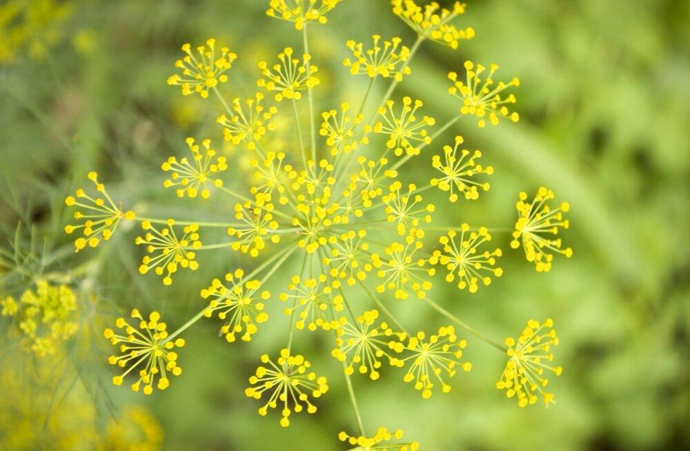 Millised ürdid meelitavad aeda kasulikke putukaid, millised aga aitavad kahjureid tõrjuda?
