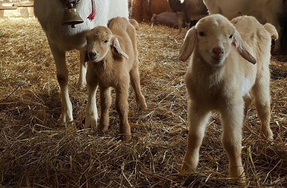 FOTO | Üvasi talus Põlvamaal sündisid täna hommikul suure kisa saatel kaks toredat kitsepoissi