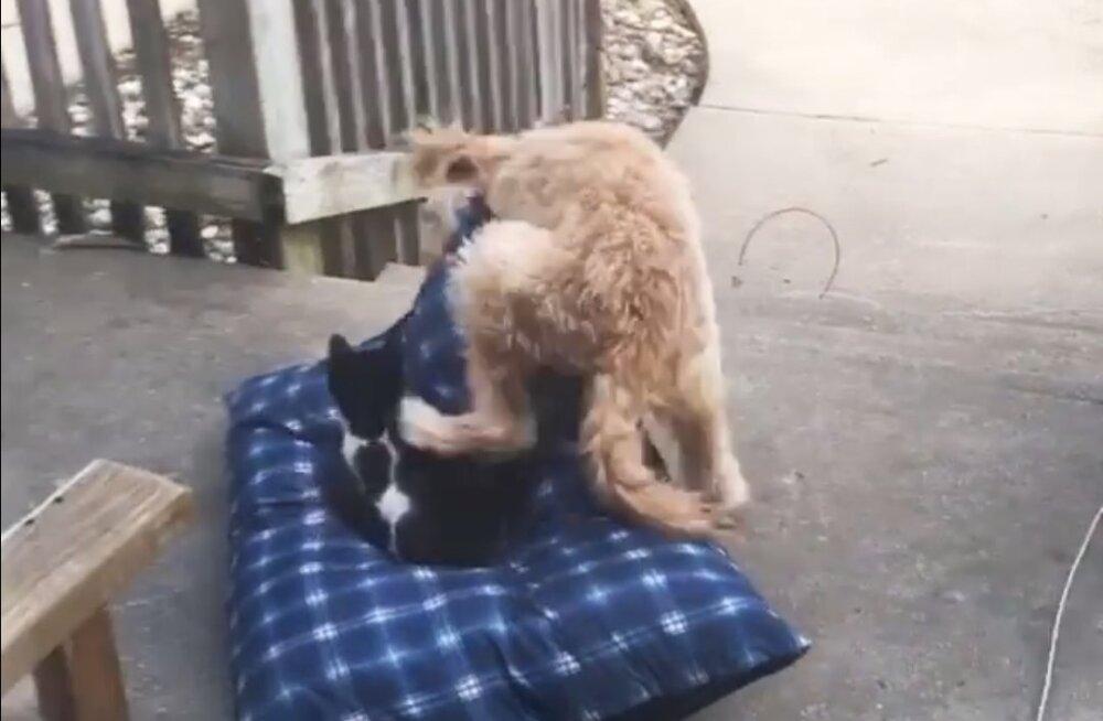 VIDEO | Ilma võitluseta ei alistu: kassil, kes ülbelt koera voodi ära varastas, jääb uhkust ülegi