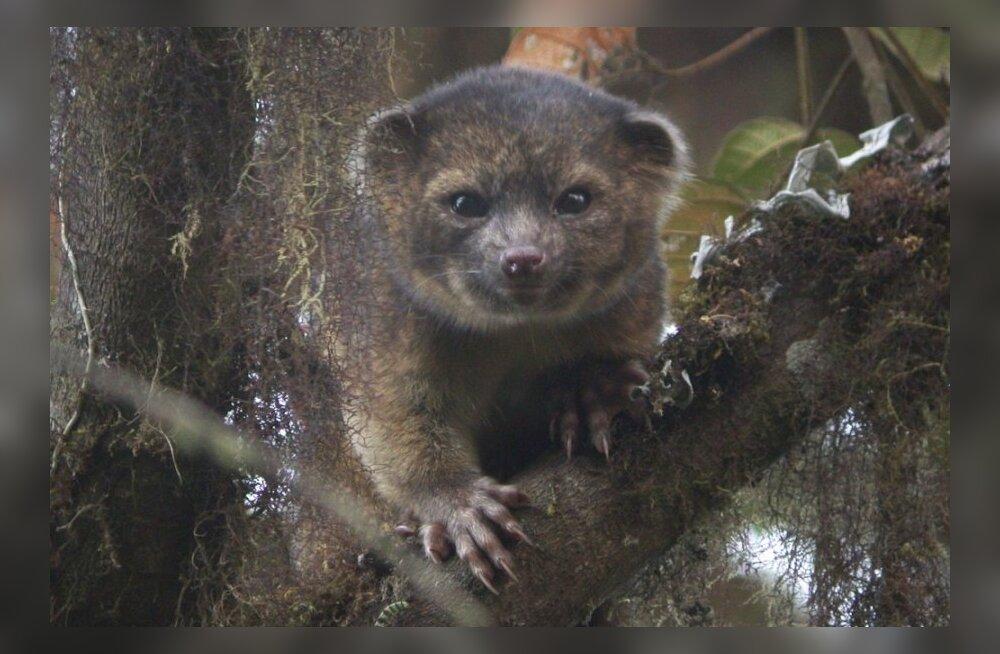 Lõuna-Ameerikast leiti 35aastase vaheaja järel uus lihasööja imetaja