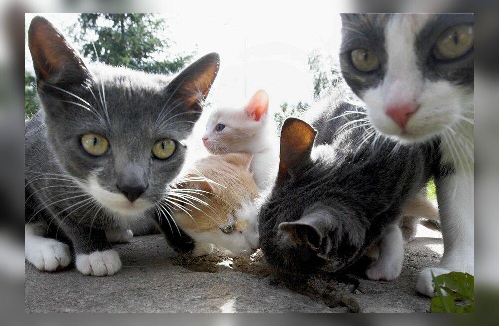 kodutud kassid