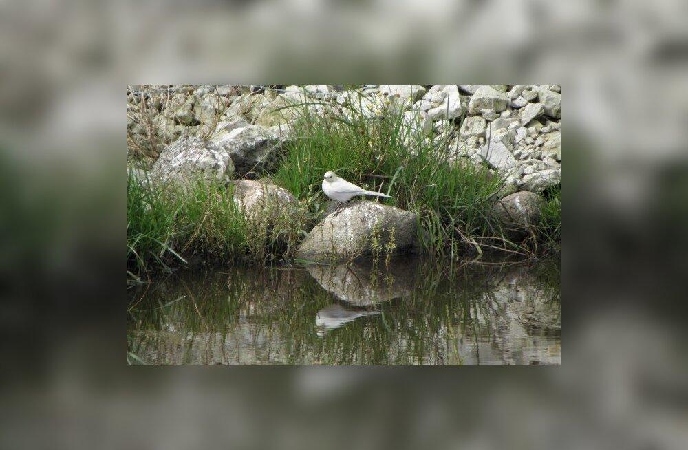 Saaremaal nähti valget linavästrikku