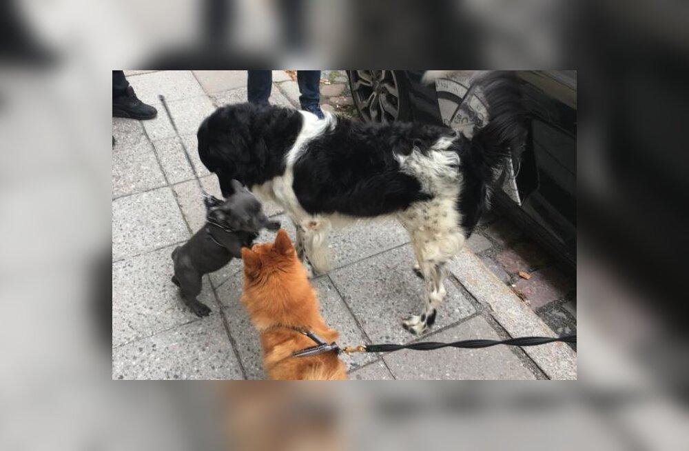 FOTO | Evelin Ilvese koer Schubert läks uitama ja sattus varjupaika
