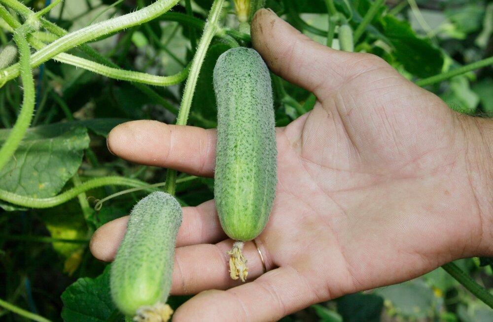 Selleks et köögiviljad kenasti kasvaks, tuleb nende ümbert hävitada kõik konkurentsi pakkuvad taimed.
