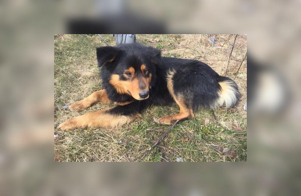 Toby lugu: Linnamäe tänavalt leitud paanikas koer vajab taas abi