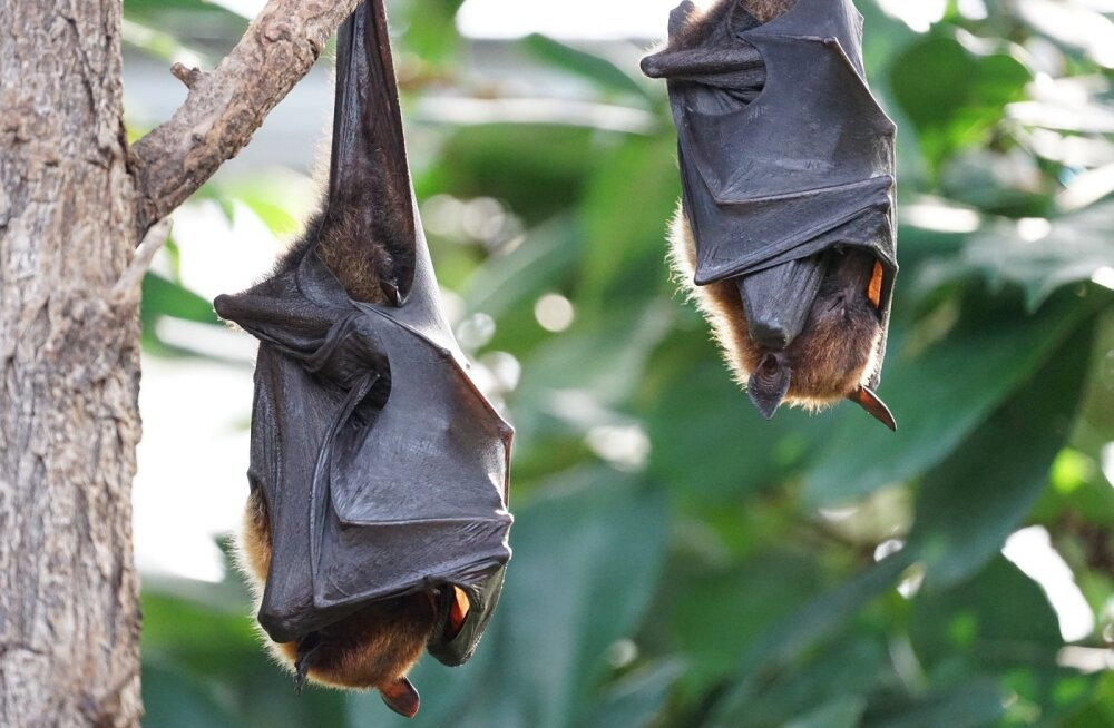 10 põnevat fakti salapärastest nahkhiirtest: kes on need tagurpidi magavad loomakesed tegelikult?