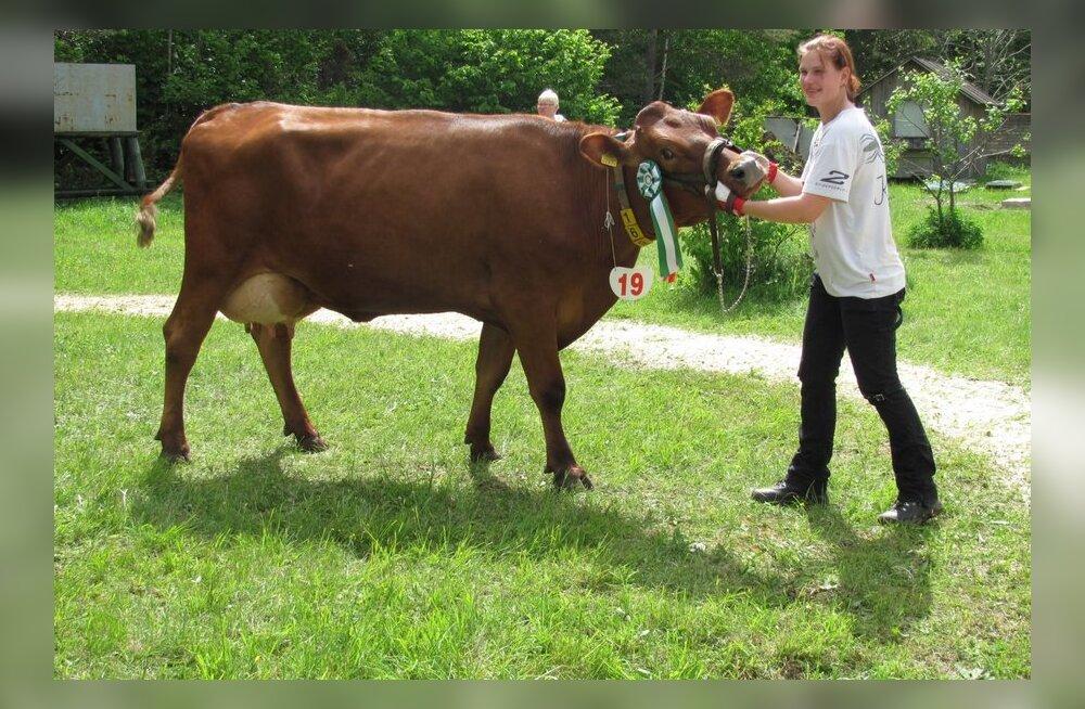 Sündis punase karja uus piimatoodangu rekord