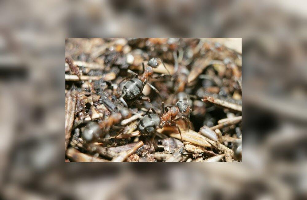 sipelgate tõrje