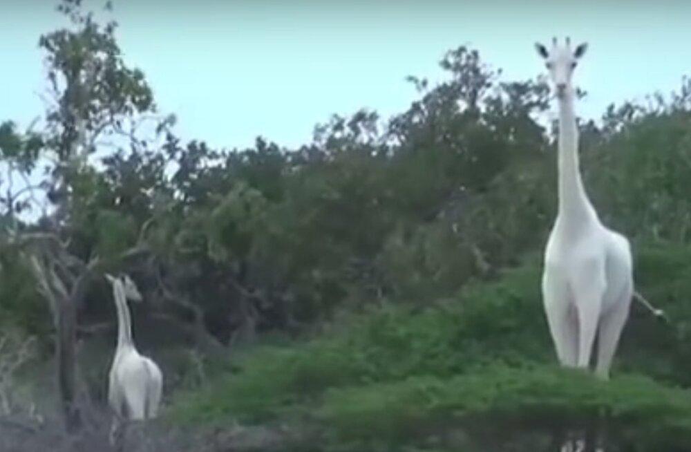 VIDEO | Erakordsed kaadrid imeilusatest ja haruldastest valgetest kaelkirjakutest