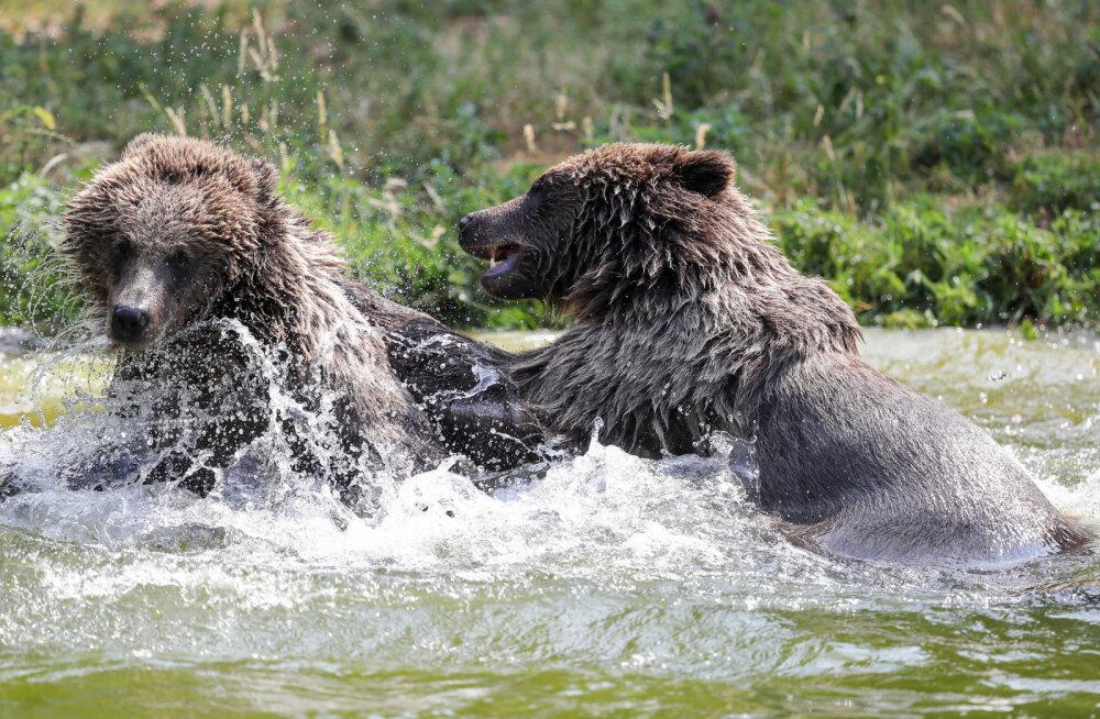 Viljandi jahimehed täitsid vähem kui kahe nädalaga karu küttimismahu