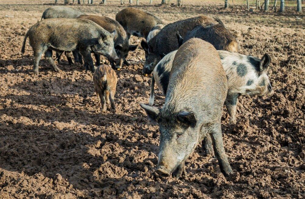 Aastate 2015-2017 taudikolletest on seakasvatus taastatud kuues sigalas.