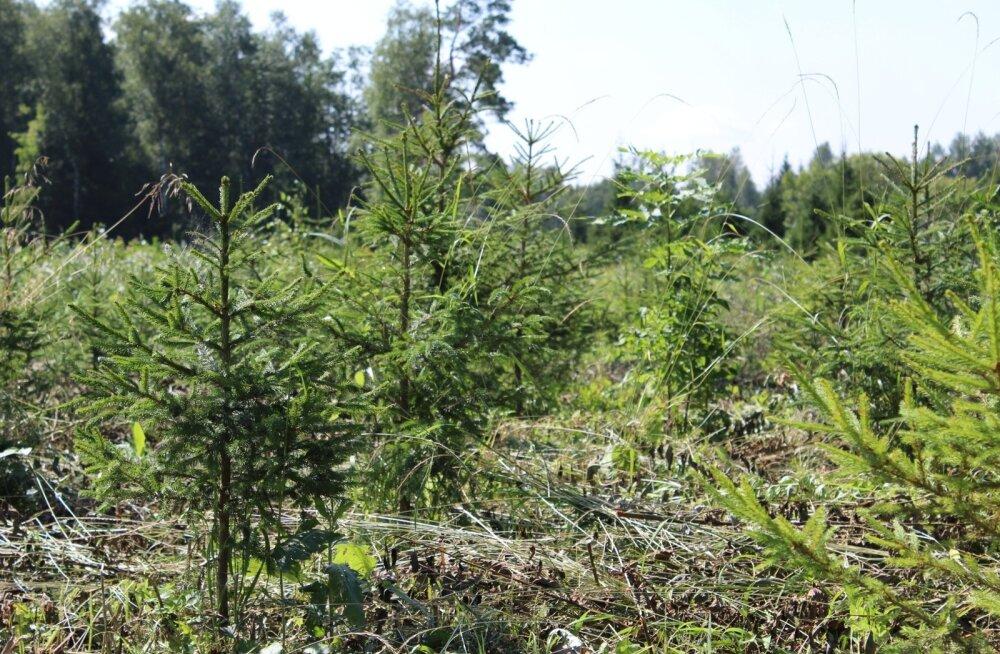 Eelmise aasta parimaks metsa- majandajaks tunnistatud Rain Ajaotsa kuuse- noorendik Nissi mail. Ka selline noorendik on mets, kuigi vaid mõne aasta vanune. Ja väärib hoolt, et sest millagi suur (palgi) mets kasvaks.