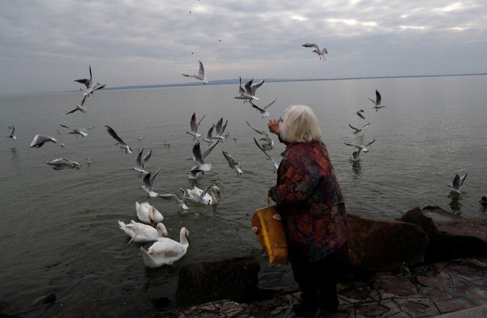 Ungari pensionärid saavad ametliku statistika järgi keskmiselt umbes 350-eurost pensioni, kuid uuriva meedia väitel saab enamik pensionäre siiski kaks korda vähem. Fotol toidab pensionär Balatoni järve ääres linde.