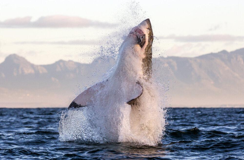 FOTOD | Vaalavaatlejatest turistid said näha, kuidas haid surnud vaala järavad