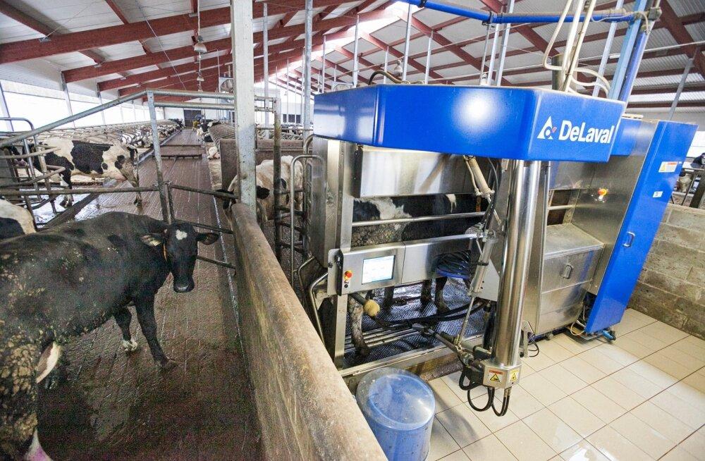 Lehmad, kes inimesi kardavad, annavad vähem piima