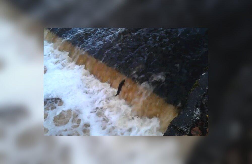 Hiiumaa jõgedesse lasti 20 000 smolti