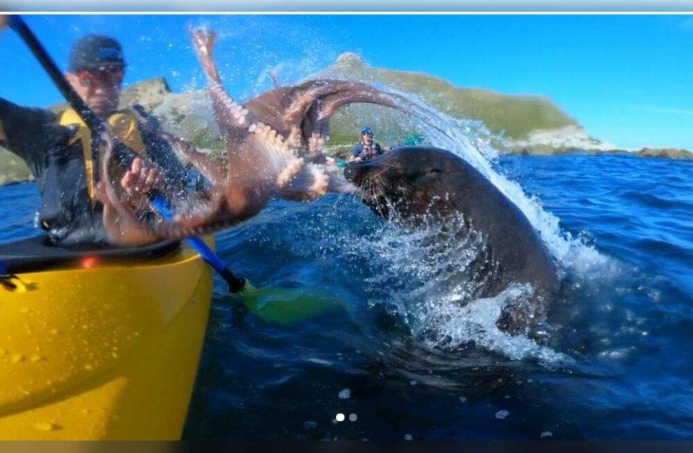 Jahmatav VIDEO | Hüljese eest põgenev kaheksajalg sooritas vägeva õhulennu ja maandus kajakisõitjale peaaegu otse paati!