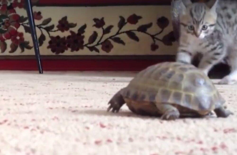 VIDEO   Kassipoja reaktsioon on jalustrabavalt naljakas, kui ta esimest korda elus kilpkonna kohtab!