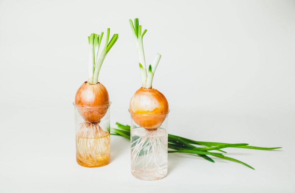 Ajatada sibulat veeklaasis või mullas? Mõned nipid, mis aitavad kasvu kiirendada