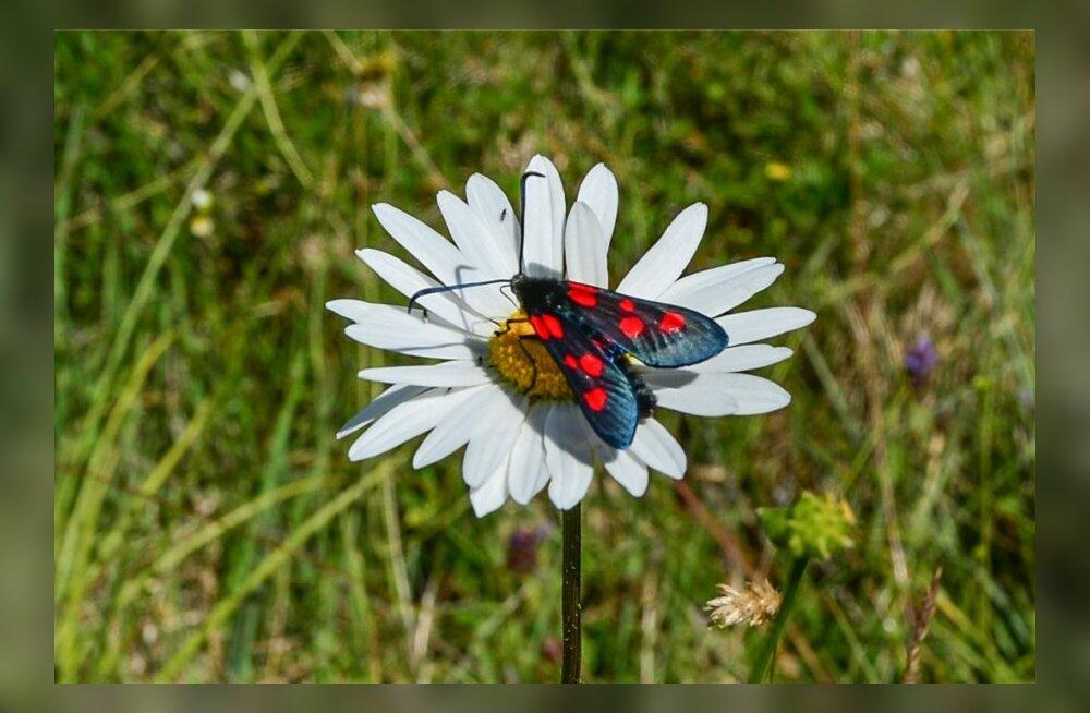 Eestimaa Looduse Fond avab liblikateemalise talgusuve
