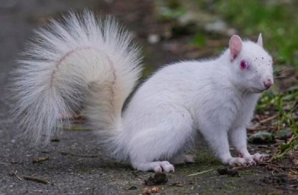 Imelised FOTOD | Juhuslikult õnnestus pildile tabada haruldane ja eriskummalise välimusega albiino orav