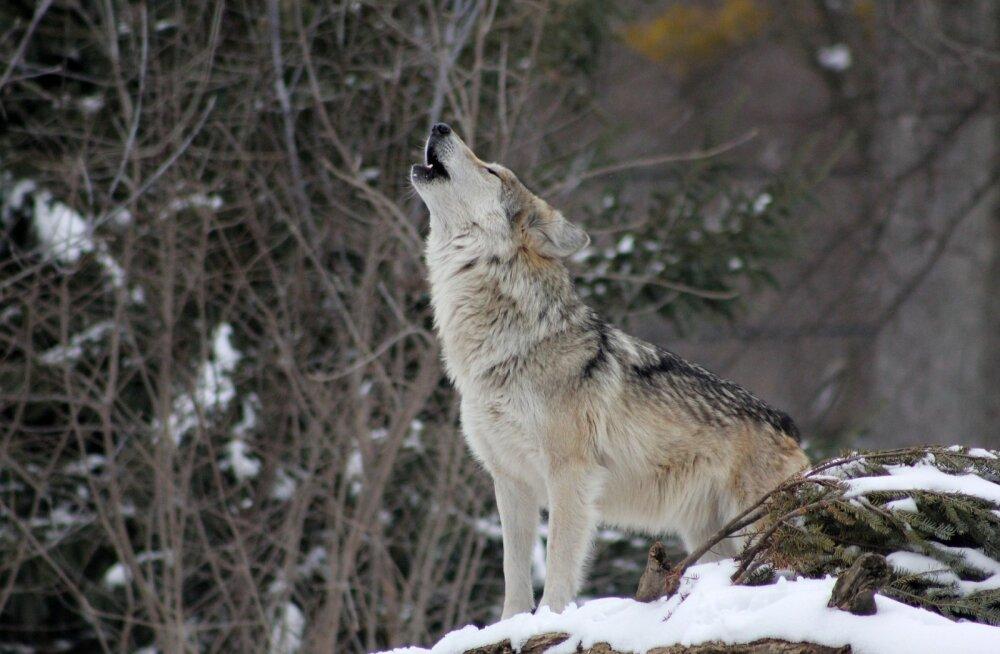 Norra hundid on ohus: loomakaitsjad lähevad appi