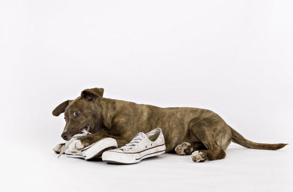 Kas sinu koer närib kingi? Kuidas sellest lahti saada?