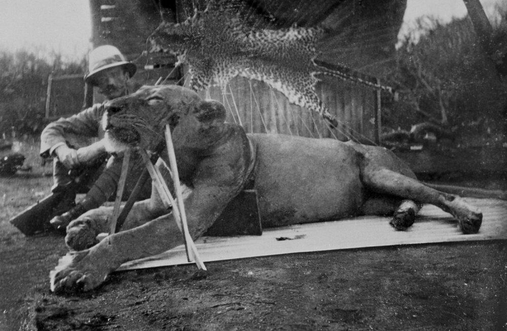 Vana mõistatus lahenes: enam kui saja aasta tagused inimsööjalõvid ei murdnud inimesi sugugi vaid näljast
