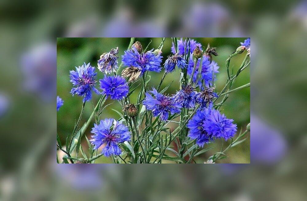 800px-Centaurea_cyanus_oitsvadtaimed