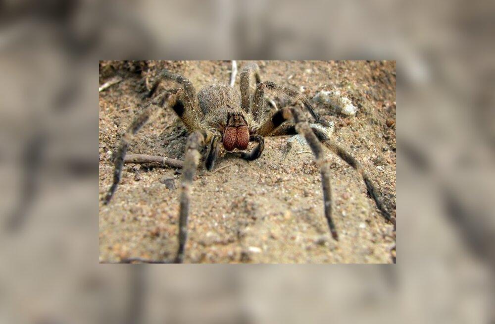 Maailma mürgiseima ämbliku hammustus on eriti piinav meestele
