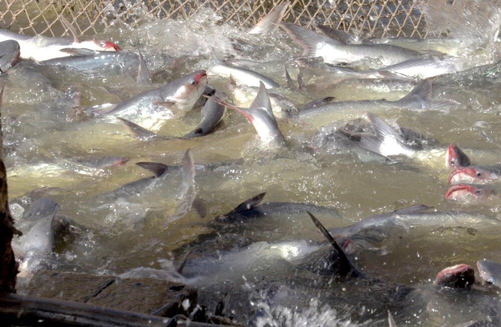Kasvandustes kogutakse kala võrguga basseini ühte äärde kokku.