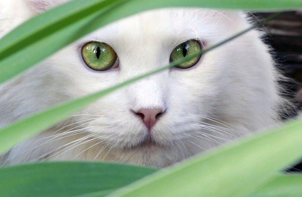 Miks kassid tihti uitama lähevad?
