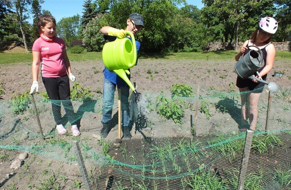 Kihelkonna kooli õpilased tõid kastmisvee tiigist, sest taimedele meeldib soe vesi rohkem kui külm kraanivesi.