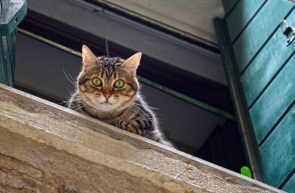 Suvise ilma ABC: Kui sul on kass, ära jäta oma akent tuulutusasendisse!