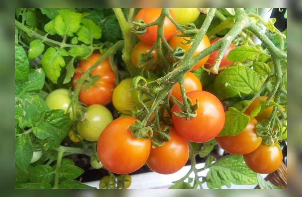 ФОТО читателя Delfi: Мой балконный огород