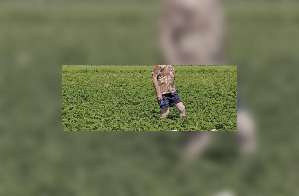 Haned hoiavad kartulipõllu umbrohust puhta