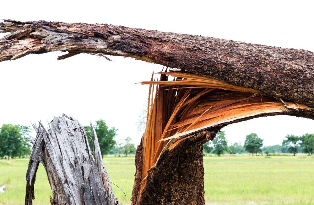 Vaata, kuidas muuta puud talveks tormikindlaks!