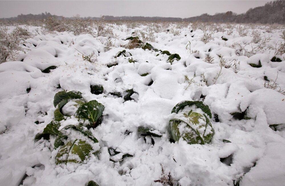 AS Sagro, lumine kapsapõld, kapsapea, kapsas
