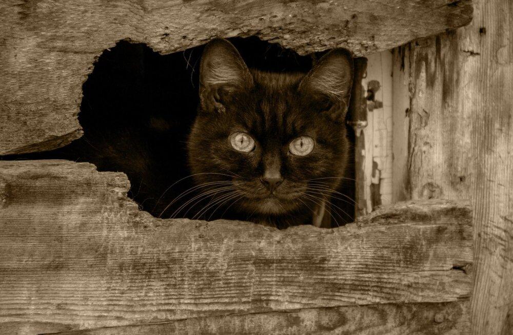 Täna tähistatakse musta kassi päeva: 5 head põhjust, miks võtta oma perre musta värvi kiisu