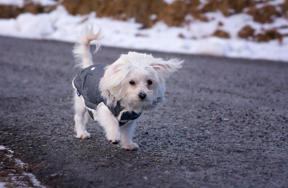 Kaheksa kevadist ohutusnõuannet: et su koera ja sinu toredad jalutuskäigud ootamatuks õudusunenäoks ei muutuks