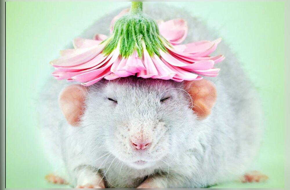 GALERII | Kuidas suhtud rottidesse? Fotograaf on rottide negatiivse maine kummutamiseks aastate jooksul neist imearmsad fotod jäädvustanud