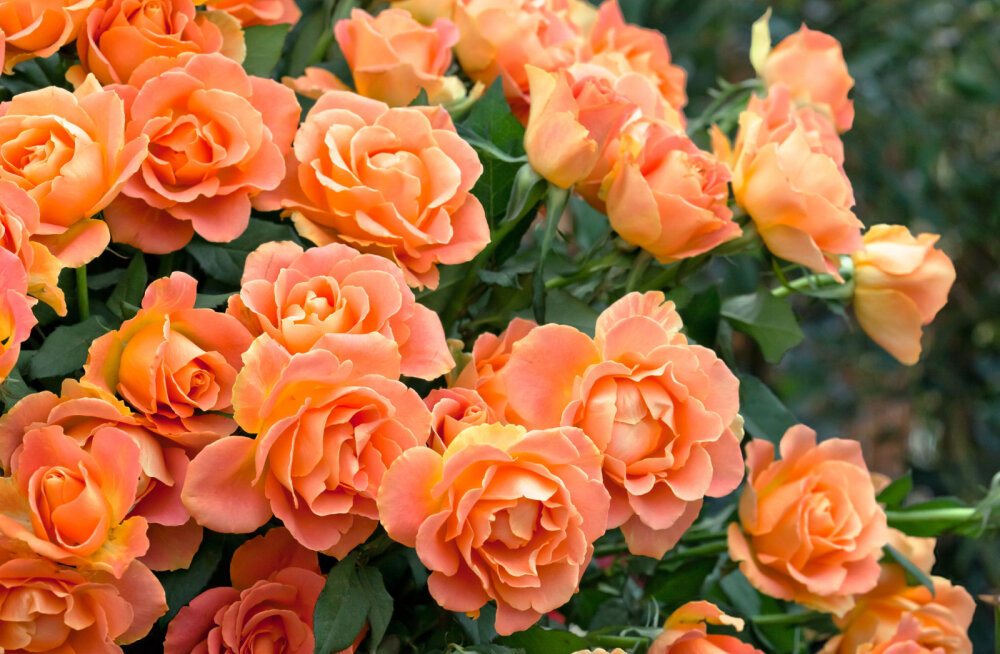 3 nõuannet, kuidas valida roosile parim koht aias