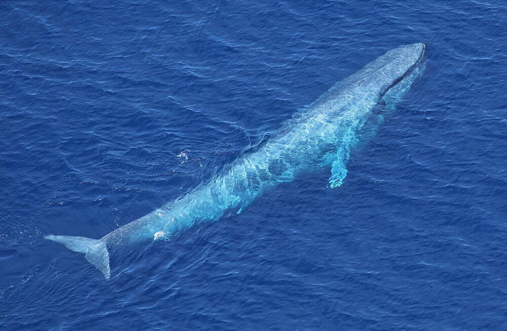 Värske teadusuuringu järgi said suurimatest vaaladest tõelised hiiglased alles suhteliselt hiljuti