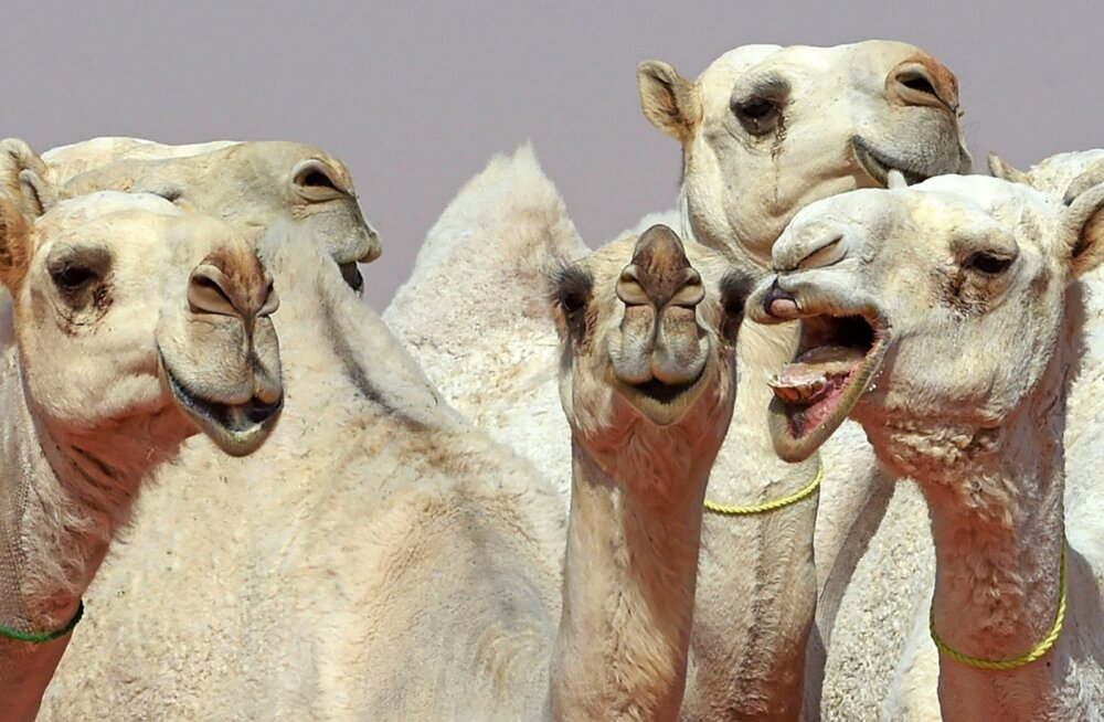 SKANDAAL | Botoxi üledoos keeras saudide kaamelitel naeratuse üle võlli