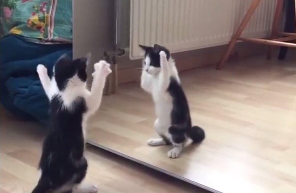 Naerutav VIDEOKLIPP | Kass, kes esimest korda peegliga kohtus
