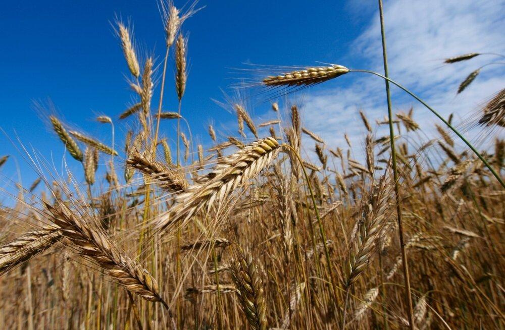 Kuidas muistsed egiptlased odra ja nisu abil üllatavalt täpselt rasedust kindlaks tegid
