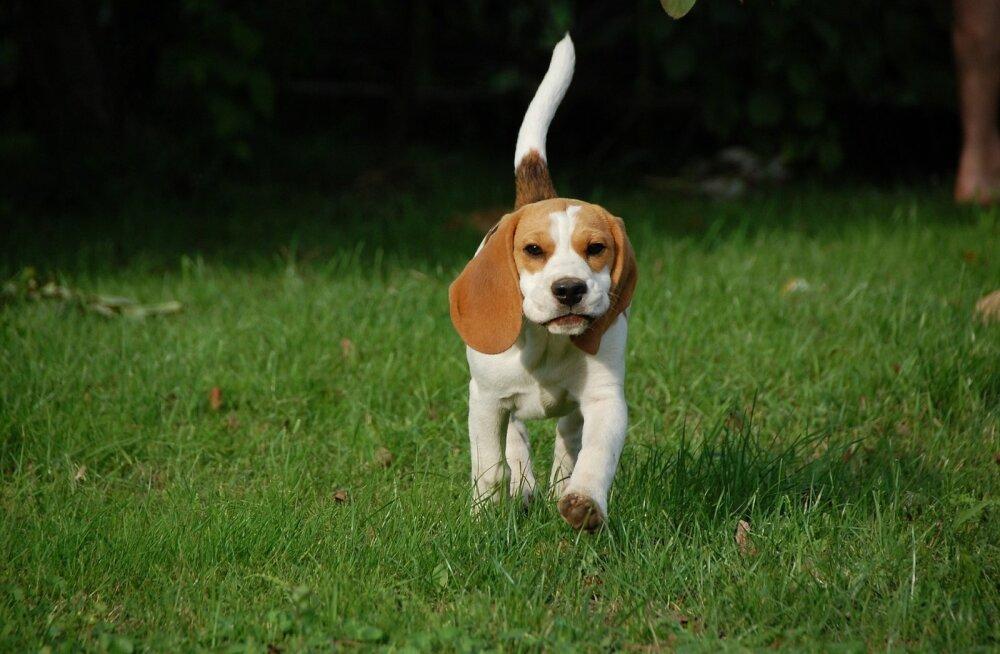 Koeratõug beagle | eestlased panid käpad kokku ja tegid beagle sõpradele uue ja põneva veebilehe