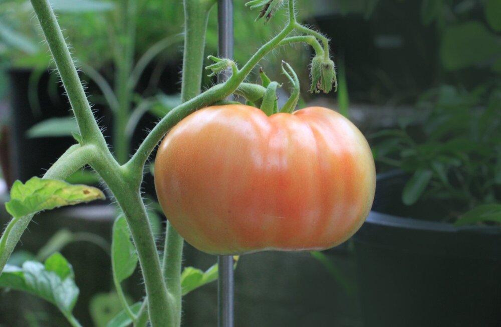 Tomatikasvataja küsimus: mida tähendab F1 sordi nime juures?