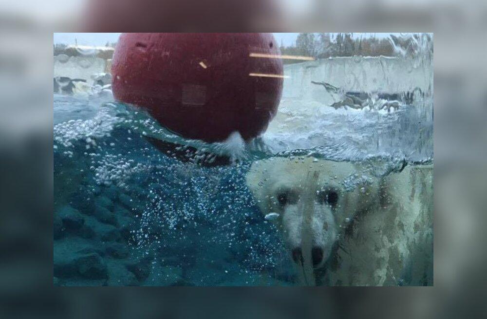 Omanäoline vaatepilt: nädalavahetusel võis loomaaia jääkarumaailma tiigis hoopis sukeldujaid kohata